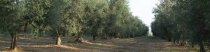 filari di olivi